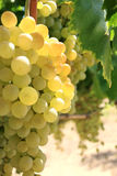 Grupo de uvas no vinhedo Fotografia de Stock