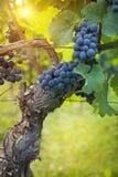 Grupo de uvas pretas Fotografia de Stock