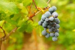 Grupo de uvas pretas. fotos de stock royalty free