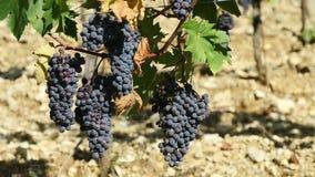 Grupo de uvas pretas em uma videira filme
