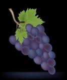 Grupo de uvas pretas maduras no preto, ilustração do vetor Imagens de Stock