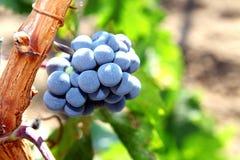 Grupo de uvas que crescem na Borgonha vinebeautiful a maioria de videira foto de stock