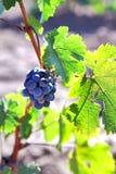 Grupo de uvas que crescem na Borgonha vinebeautiful a maioria de videira foto de stock royalty free