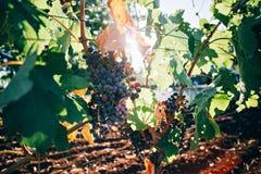 Grupo de uvas que riping em ramos fotos de stock