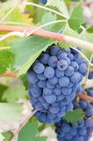 Grupo de uvas suculento na videira foto de stock royalty free