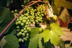 Grupo de uvas unripened verdes na perspectiva do verde imagens de stock