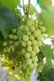 Grupo de uvas verdes imagem de stock