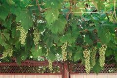Grupo de uvas verdes em ramos grapevine Imagens de Stock Royalty Free