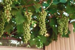Grupo de uvas verdes em ramos grapevine Foto de Stock