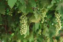 Grupo de uvas verdes em ramos grapevine Fotos de Stock Royalty Free