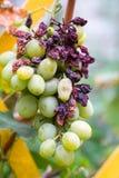 Grupo de uvas verdes estragadas perto acima fotografia de stock