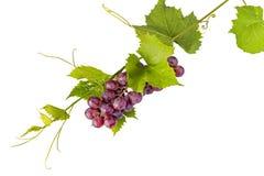 Grupo de uvas vermelhas e de folhas no fundo branco Imagem de Stock