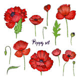 Grupo de vária papoila Coleção vermelha da flor Mão colorida ilustração tirada Foto de Stock