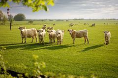 Grupo de vacas Imagens de Stock Royalty Free