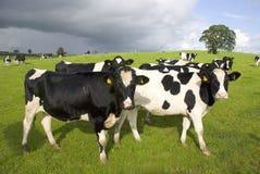 Grupo de vacas blancos y negros en pasto Imagen de archivo libre de regalías