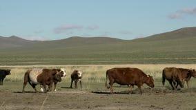 Grupo de vacas con las montañas mongoles en el fondo almacen de metraje de vídeo