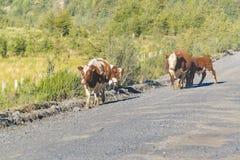 Grupo de vacas en el camino sucio, Patagonia, Chile Foto de archivo