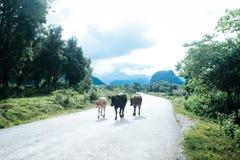 Grupo de vacas na estrada, cercando por árvores e por montanha Imagens de Stock Royalty Free