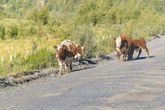 Grupo de vacas na estrada suja, Patagonia, o Chile Foto de Stock