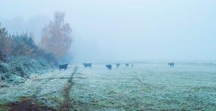Grupo de vacas negras en prado brumoso Fotos de archivo libres de regalías