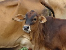 Grupo de vacas no campo em Malásia Foto de Stock Royalty Free