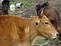 Grupo de vacas no rancho Fotografia de Stock Royalty Free