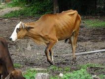 Grupo de vacas no rancho Imagens de Stock