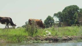 Grupo de vacas que comen la hierba en campo del prado cerca de corriente del río almacen de metraje de vídeo