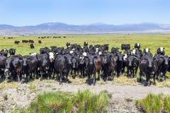 Grupo de vacas que pastam no prado fotografia de stock royalty free