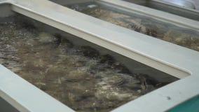 Grupo de varias ostras frescas en agua clara Ostras en tienda antes de cocinar metrajes