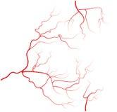 Grupo de veias do olho humano, vasos sanguíneos vermelhos, sistema do sangue Ilustração do vetor no fundo branco Fotografia de Stock Royalty Free