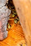 Grupo de vespas do campo que guardam sua casa foto de stock royalty free