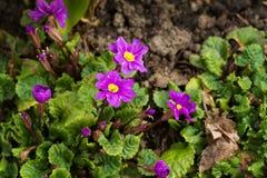 Grupo de violetas en un cierre de la cama de la primavera para arriba Foto de archivo libre de regalías