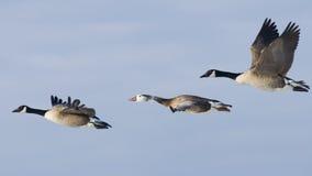 Grupo de voar gansos de Canadá Foto de Stock