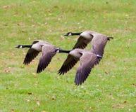 Grupo de volar de los gansos de Canadá Fotos de archivo libres de regalías