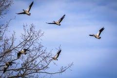 Grupo de volar gansos egipcios Imágenes de archivo libres de regalías