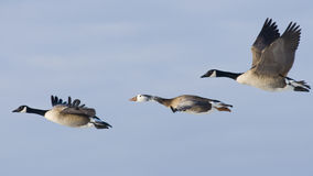 Grupo de volar los gansos de Canadá Foto de archivo