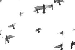 Grupo de voo do pombo isolado no fundo branco Foto de Stock