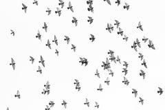 Grupo de voo do pombo isolado no fundo branco Fotos de Stock