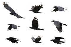 Grupo de voo preto do corvo no fundo branco animal fotos de stock royalty free