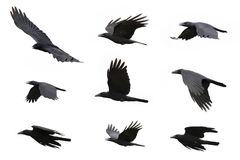 Grupo de vuelo negro del cuervo en el fondo blanco Animal Fotos de archivo libres de regalías