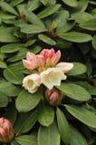 Grupo de Wardii del ` de Bob Bovee del ` del rododendro Imágenes de archivo libres de regalías