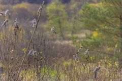 Grupo de waxwings en las ramas Foto de archivo