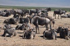 Grupo de wildebeest en el cráter de Ngorongoro Imagen de archivo libre de regalías