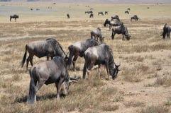 Grupo de wildebeest en el lago Manyara Imágenes de archivo libres de regalías
