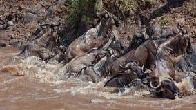 Grupo de wildebeest que cruza el río Mara Imágenes de archivo libres de regalías