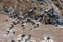 Grupo de wildebeest que cruza el río Mara Imagen de archivo libre de regalías
