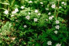 Grupo de windflowers blancos debajo del sol imagen de archivo libre de regalías