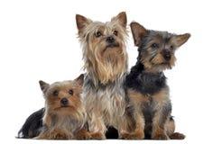Grupo de yorkshire terrier, 3 e 2 anos velhos e 3 meses velho Imagem de Stock
