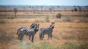 Grupo de zebra Imagem de Stock